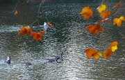 fall-leaves-ducks